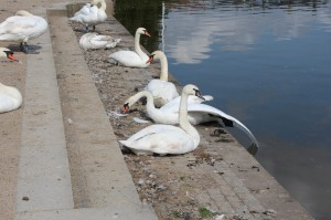 There were some HUGE swans in the closest shore to our hotel! These are just big.
